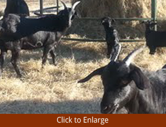 Spanish Goats In a Farm