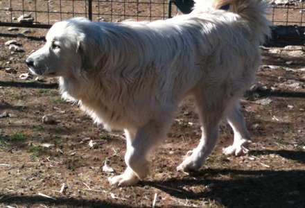 Full-Blood CKC-Registered Great Pyrenees in Lampasas, TX