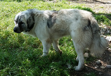 Great Pyrenees - Anatolian Shepherd in Lampasas, TX